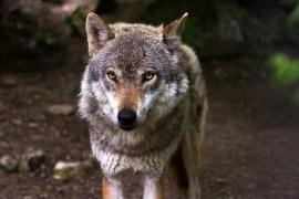 Wolf zu Unrecht verdächtigt im Kanton Schwyz