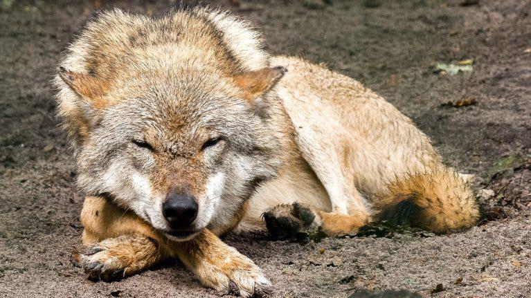 cropped-Soll-der-Wolfsschutz-gelockert-werden-Die-Bevölkerung-sagt-mehrheitlich-Nein.jpg