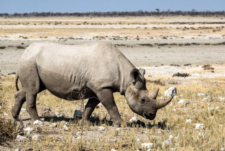 Botswana Zunahme der Nashorn-Wilderei