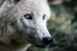 Der Wolf bleibt in Deutschland streng geschützt