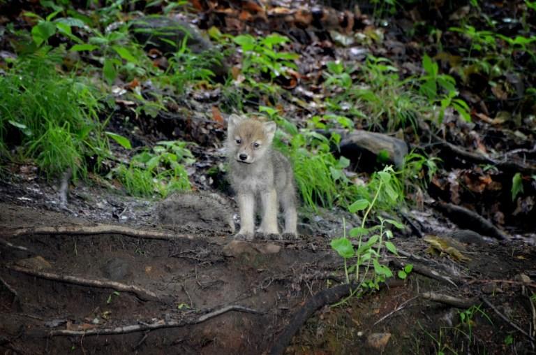 In Graubünden werden vier Jungwölfe geschossen