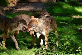 Jungwolf