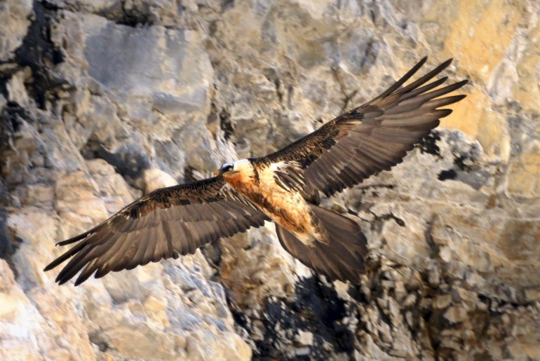 Bartgeier von Adler getötet