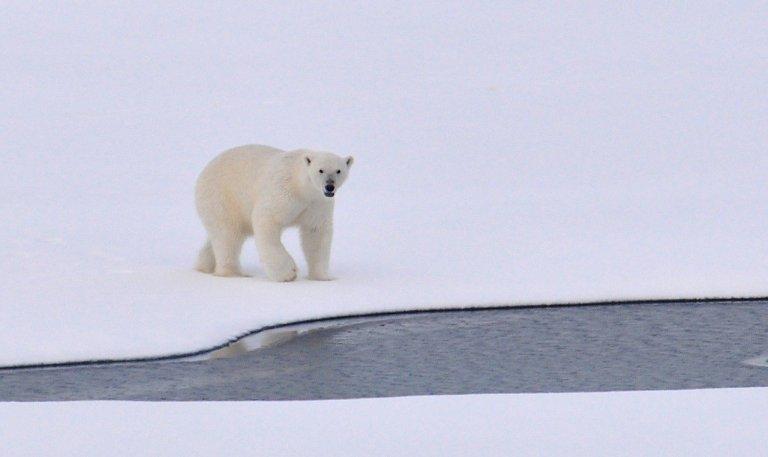polar-bear-1574996_1280.jpg