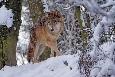 Wolf in Graubünden im Verkehr getötet