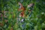 Schonzeit Über 60 Organisationen helfen dem Fuchs in Deutschland