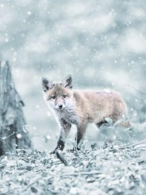 Schweizer Jäger Tierquälerei auf der Fuchsjagd