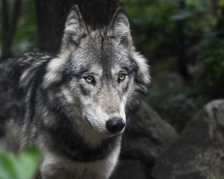 Lichtenstein Wolf nachgewiesen