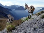 Alpengämse Durcheinander beim Management