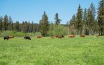 Jagdgesetz Geraten Mutterkühe wegen Wölfe in Panik