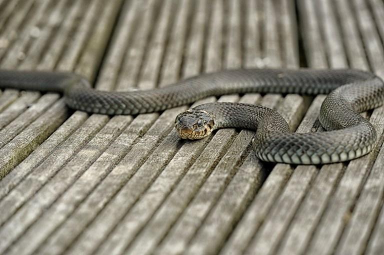 Schlangen im Garten Keine Angst vor den scheuen Sensibelchen
