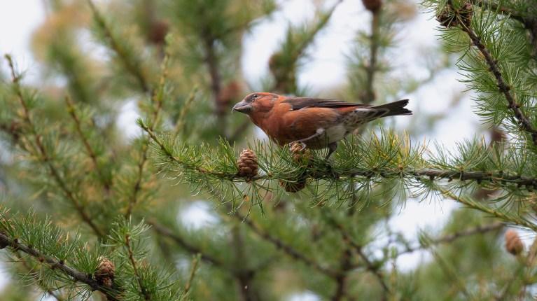 Vogelwelt der Schweizer Alpen verliert an Vielfalt