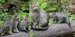 Wildkatzen-Mutter verteidigt ihre Jungen gegen einen Wolf