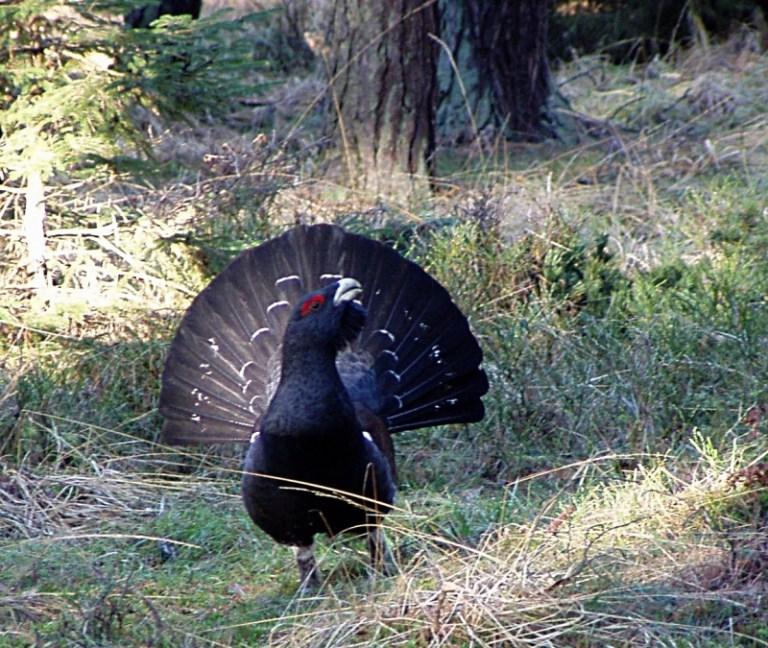 Auerhahn: Hobby-Jäger nach Tierquälerei verurteilt