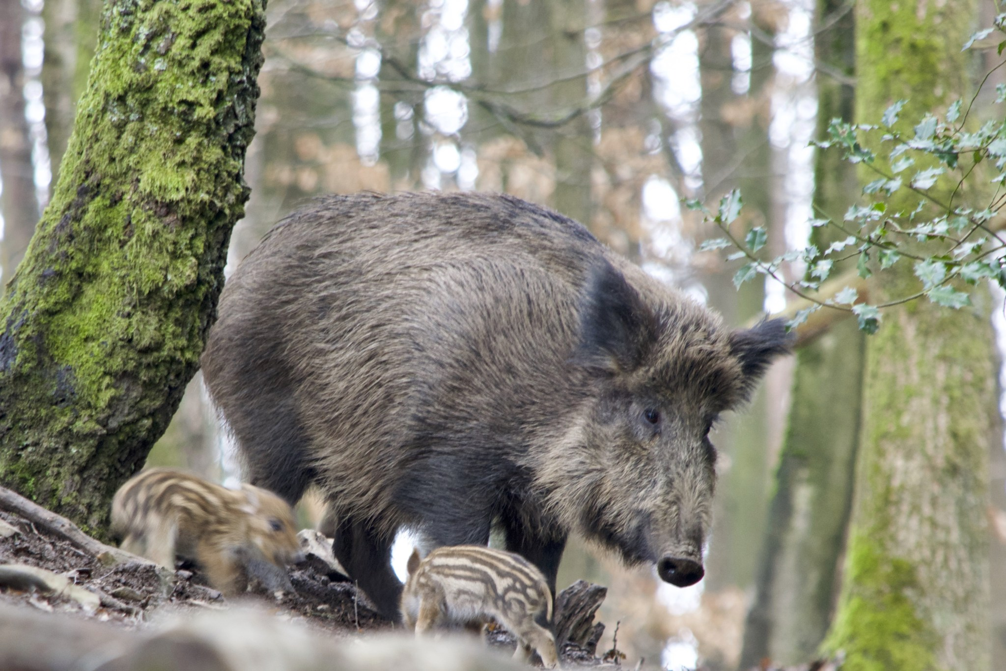 Erster Nachweis der Afrikanischen Schweinepest (ASP) in Deutschland