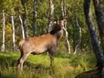 Hobby-Jäger wildert Kronenhirsche in Graubünden