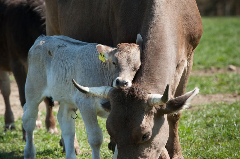 Milch, Käse, Butter und Co. ohne Trennung von Mutter und Kalb
