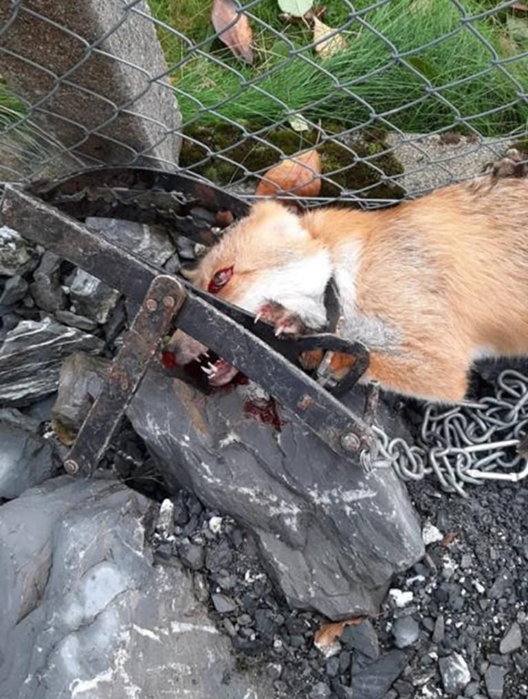 Zürich Fuchs gerät in verbotene Totschlagfalle