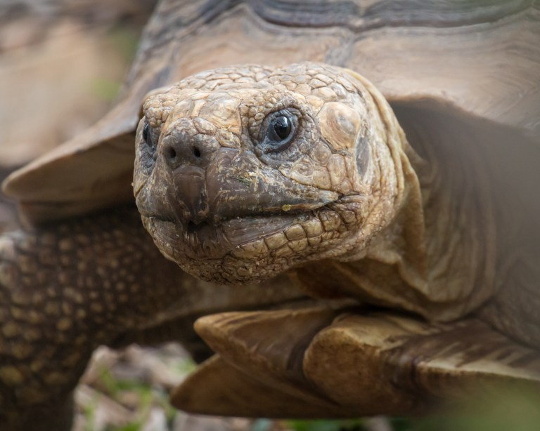Portrait of tortoise with focus on it`s head