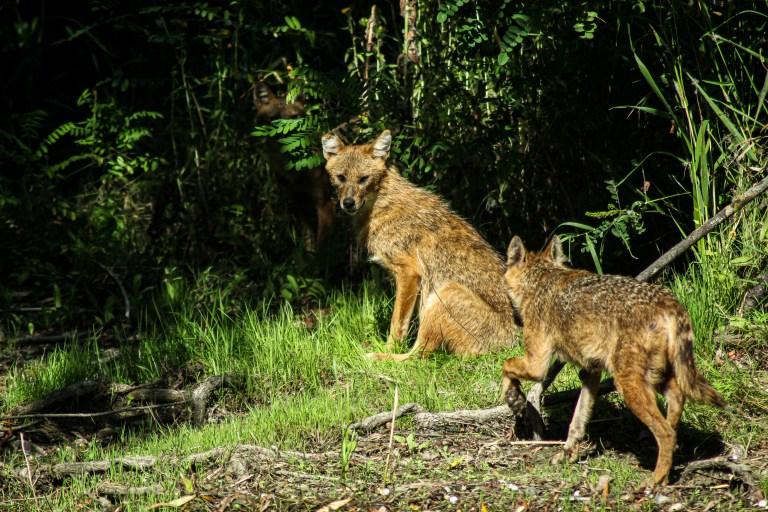 Golden jackal - Sacalul auriu - Canis aureus