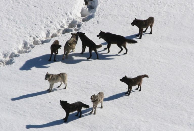 Graubünden darf Wolfsrudel nicht regulieren