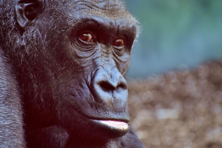 Corona-Fall bei Gorilla in europäischem Zoo
