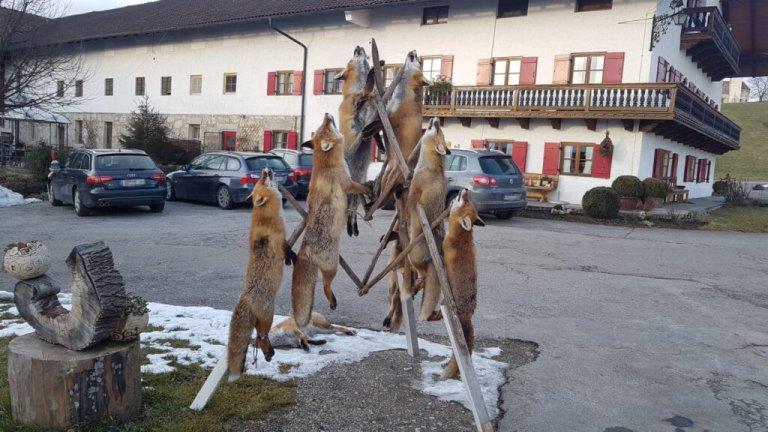 Füchse getötet und in Bayern zur Schau aufgehängt