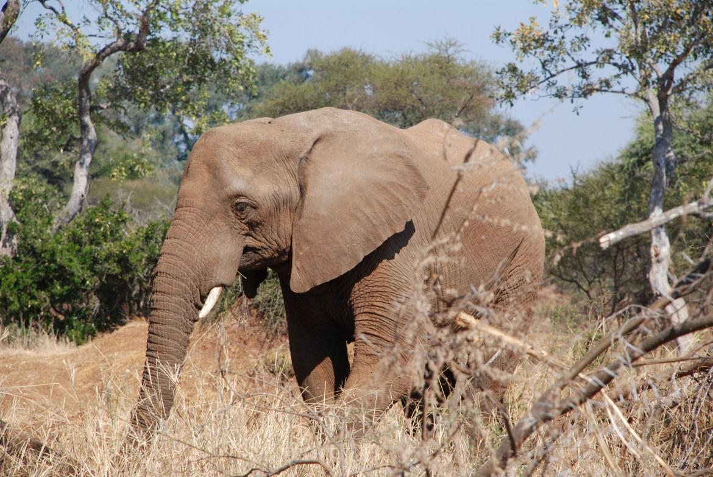 Afrikanische Elefantenart jetzt vom Aussterben bedroht