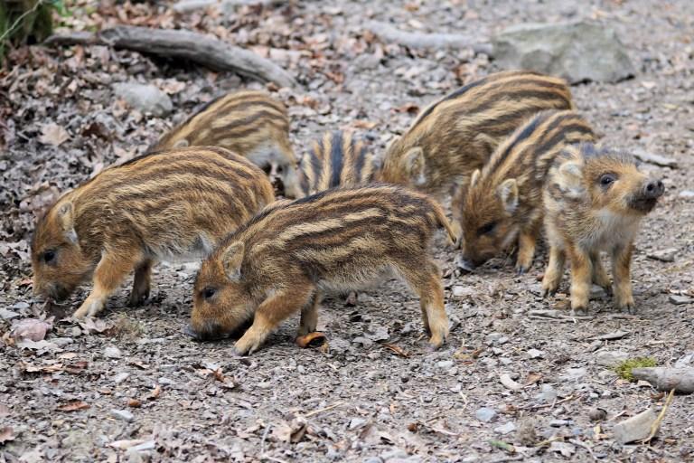 Niedersachsen Landwirt häckselt Wildschweine