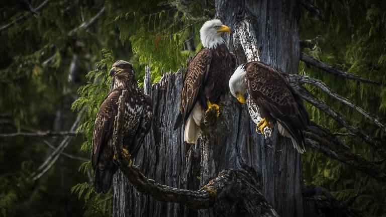 USA Bestand der Weisskopfseeadler erholt sich