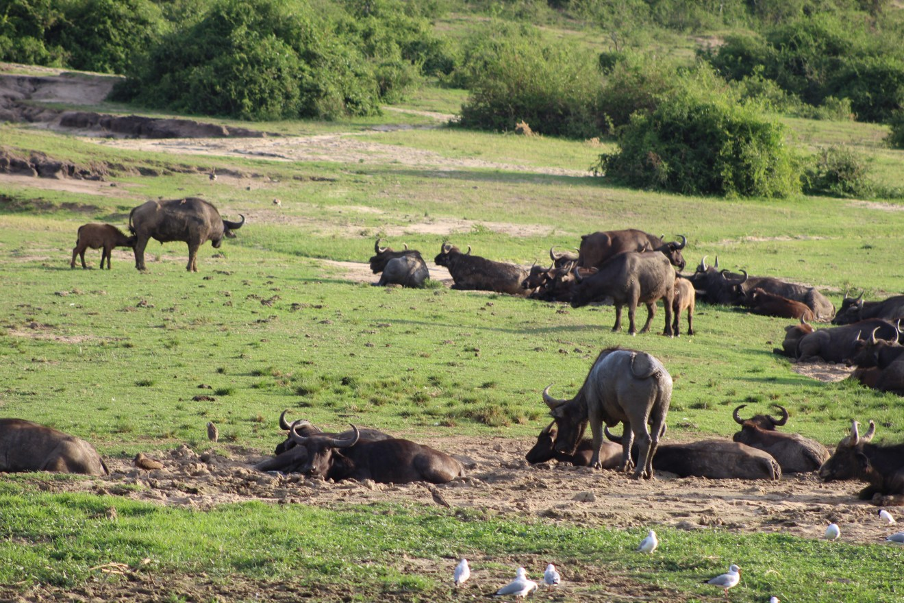 Trophäenjäger lacht während Büffeljagd