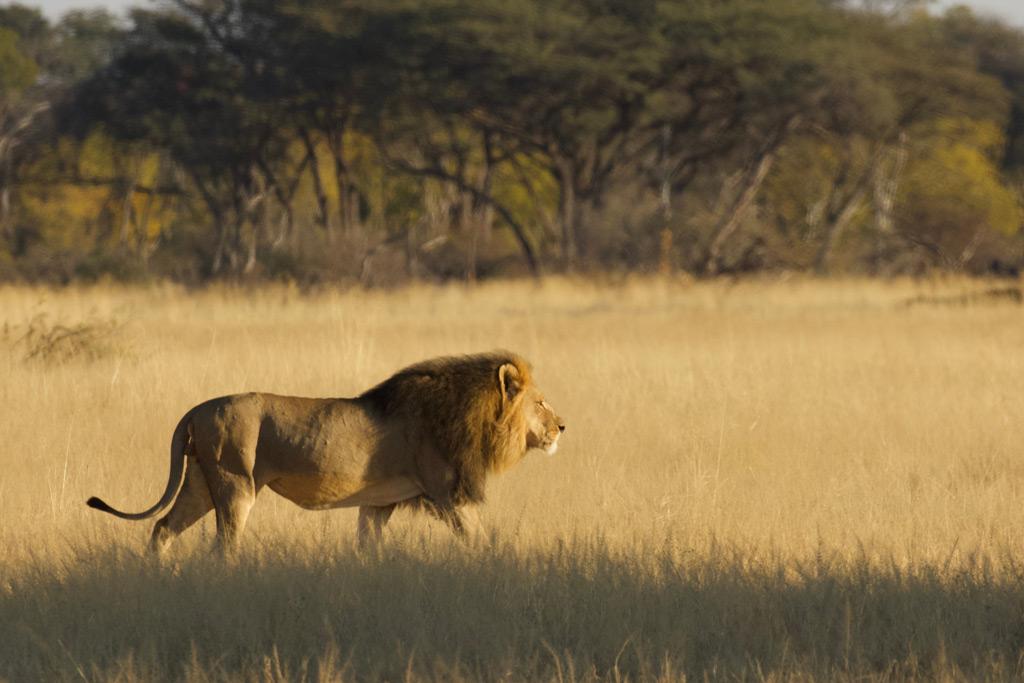 Majestätischer Löwe wurde in Simbabwe durch Trophäenjäger getötet