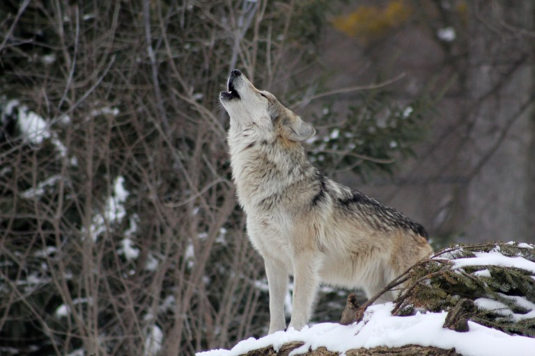 Abschussmoratorium für den Wolf