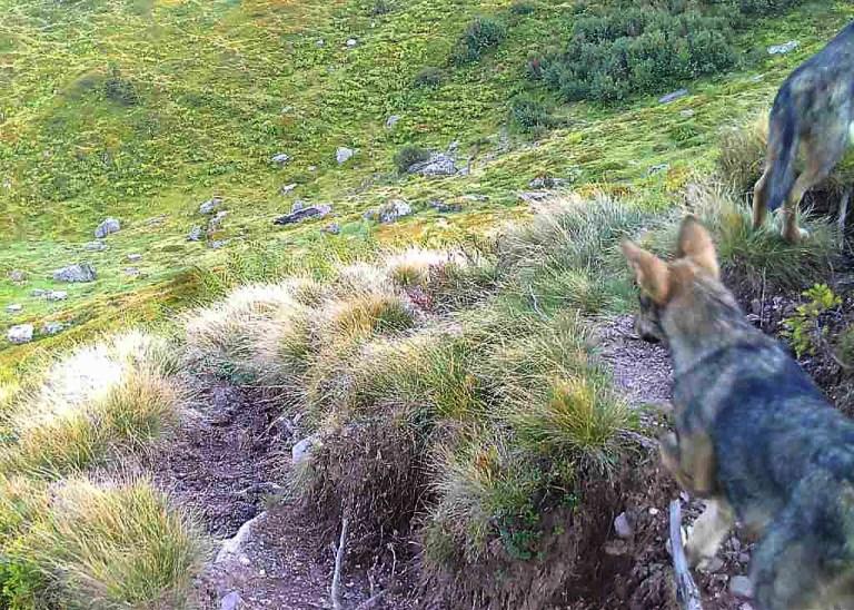 Wolfnachwuchs in Glarus bestätigt
