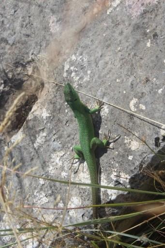 Stratos lizard