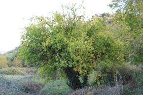 Pomegranate tree at Isova