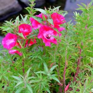 Clarkia plant photo