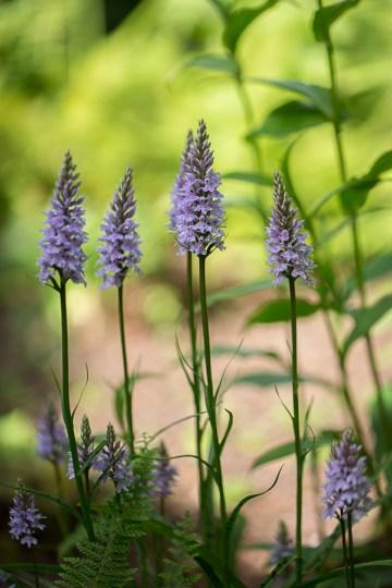 Sissinghurst - Lady Orchid
