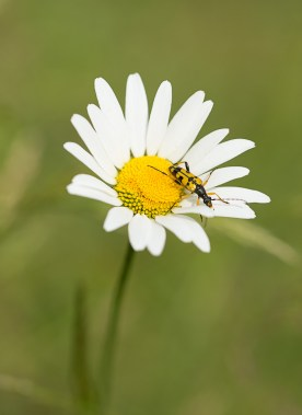 Oxeye Daisy and friend