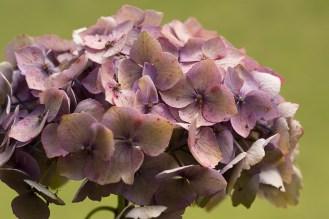 Hydrangea macrophylla 'Intermezzo'