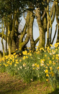 Daffodils & Ancient Beeches