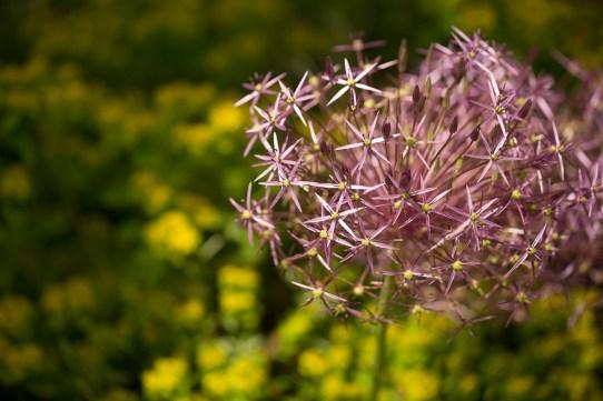 Allium cristophii & Euphorbia