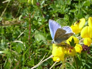 Common blue on trefoil