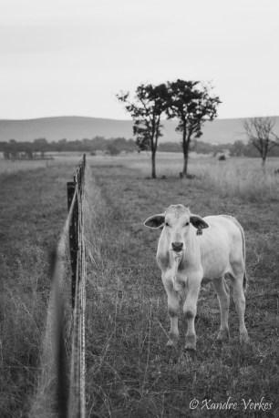 Xandre Verkes - Cattle Farm-1