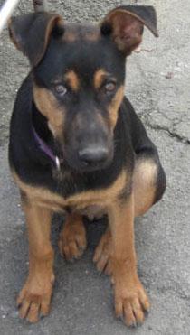 Loki-puppy