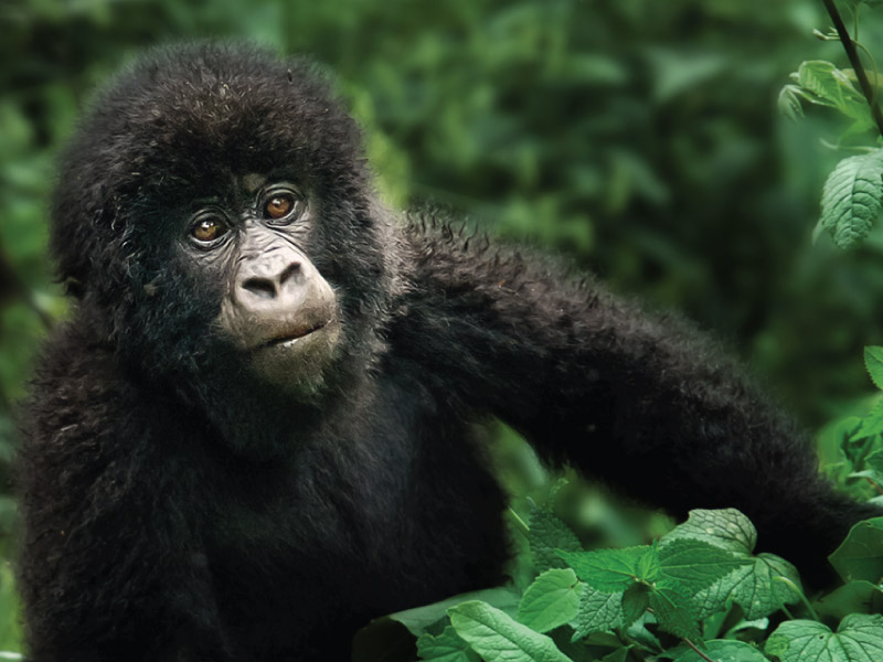Bwindi Impenetrable Forest National Park - Gorilla Trekking Safaris