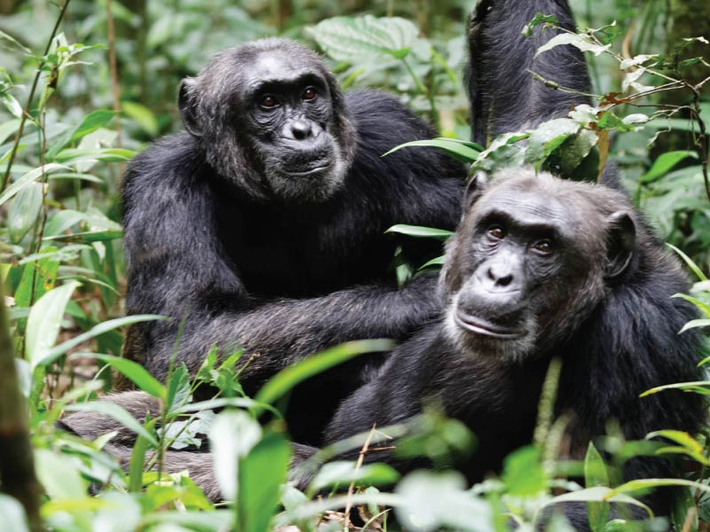 Kibale Forest National Park - Chimpanzee Habituation Experience, Chimps safaris