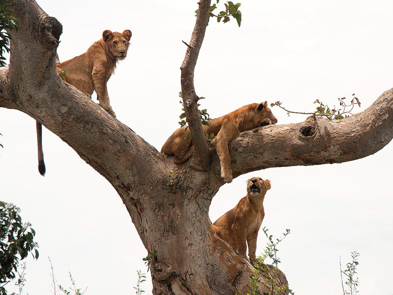 Qeen Elizabeth National Park - Wildlife Safaris, Tree Climbing Lions of Ishasha