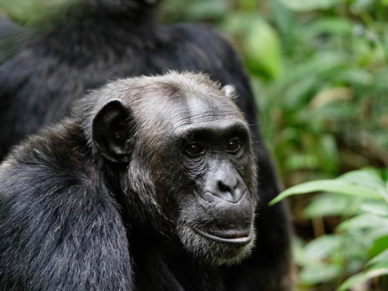 Chimps & Wildlife Safari
