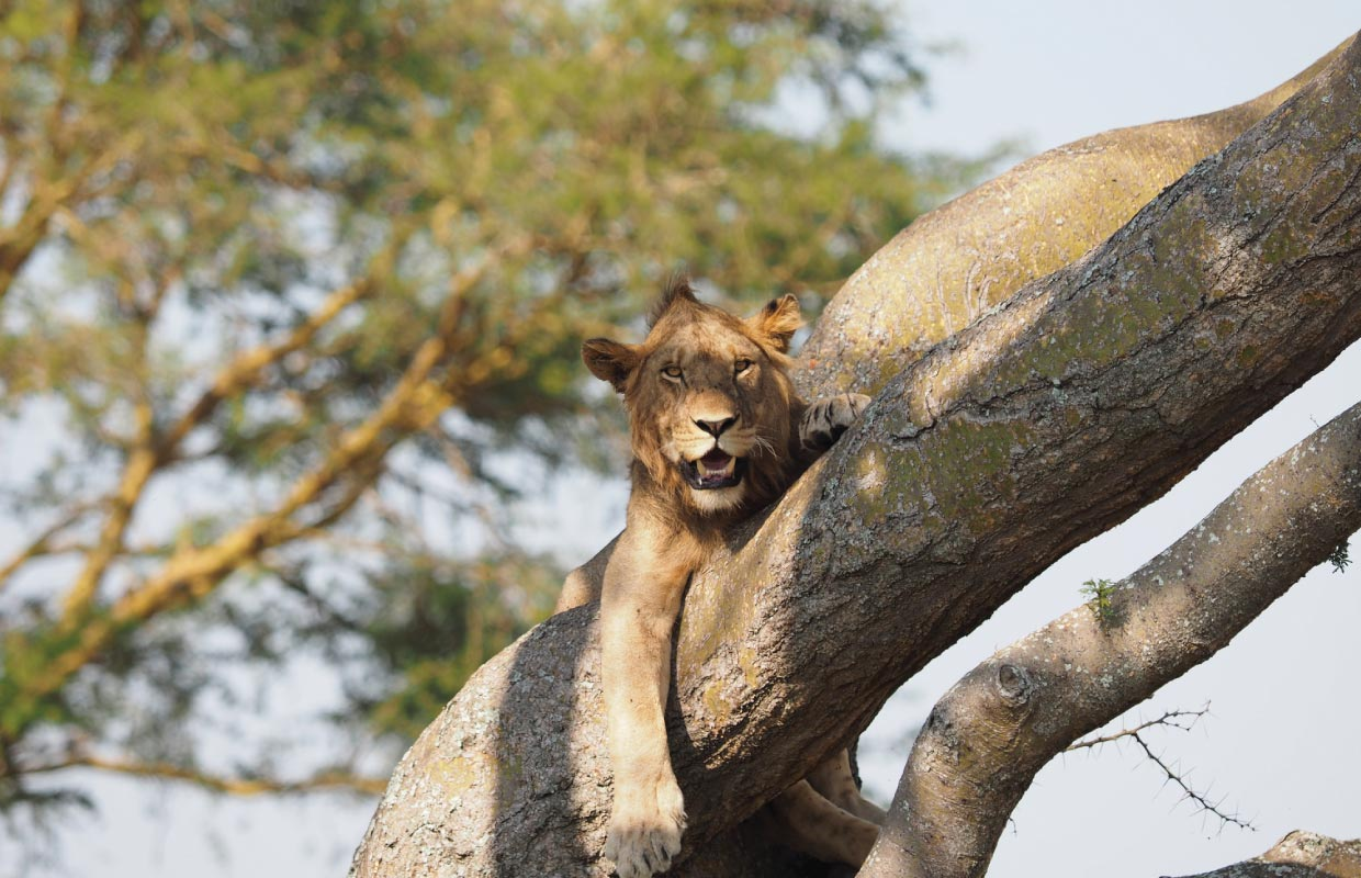 queen elizabeth national park Safari - Ishasha tree climbing lions